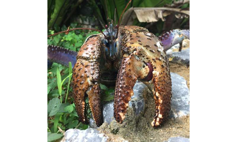 Coconut crab claws pinch with the strongest force of any crustacean
