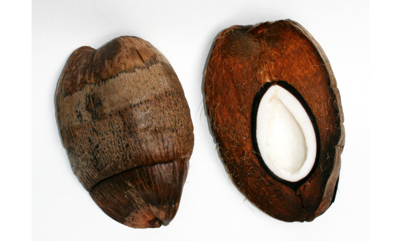 Coconuts could inspire new designs for earth-quake proof buildings