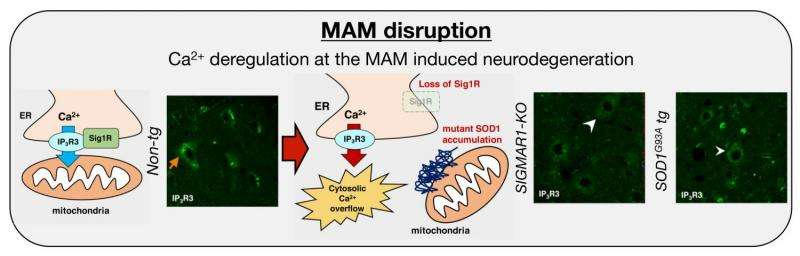 Collapse of mitochondria-associated membrane in ALS