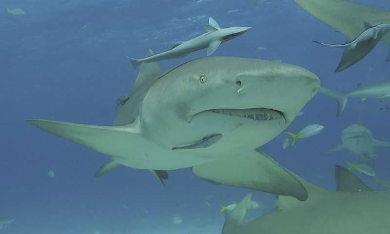 Comparative analysis reveals use patterns of deeper Caribbean coral reefs by shark species