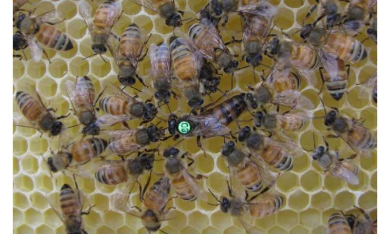 Conflict among honey bee genes supports theory of altruism