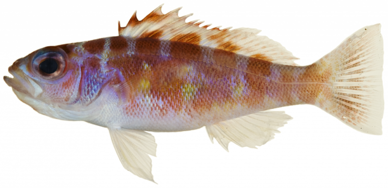 Cooperative fish take turns with gender roles