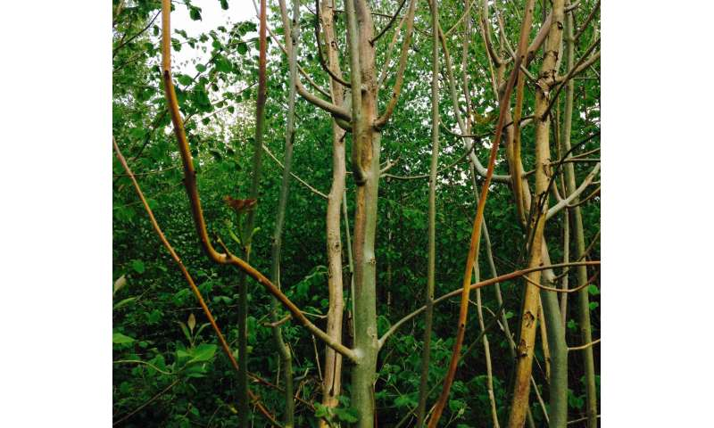 Could disease 'tolerance' genes give new life to UK ash trees?
