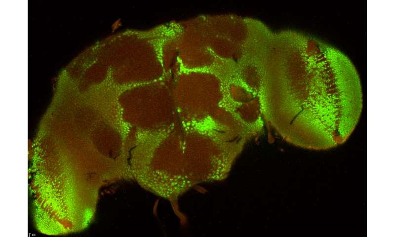 Could flies help us understand brain injuries?