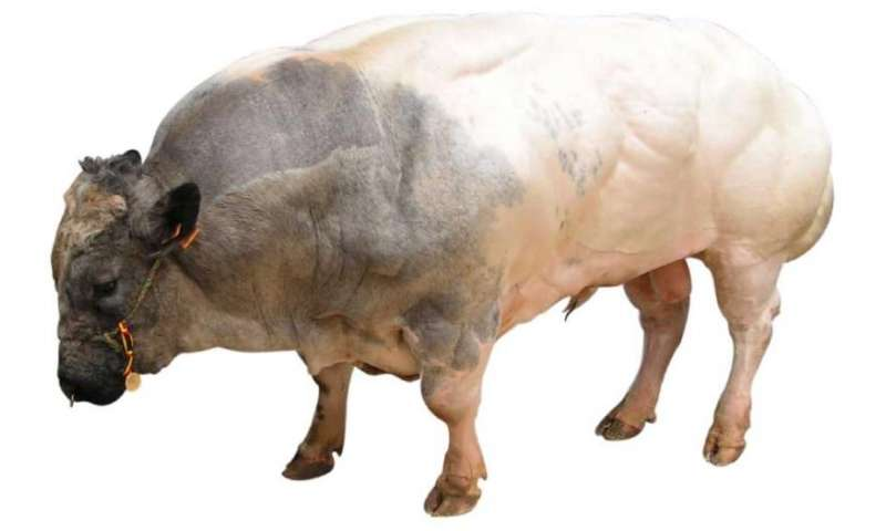 Cow embryos reveal new type of chromosome chimera