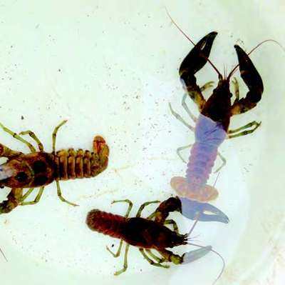 Crayfish may help restore dirty streams, study finds