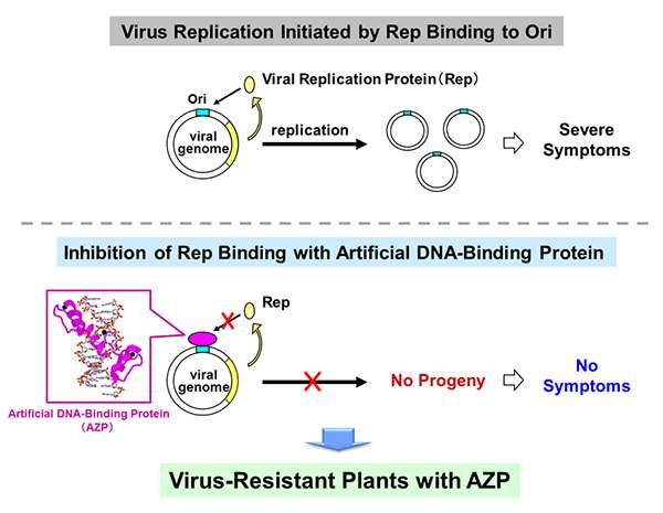 Creation of virus-resistant plants with artificial DNA-binding proteins