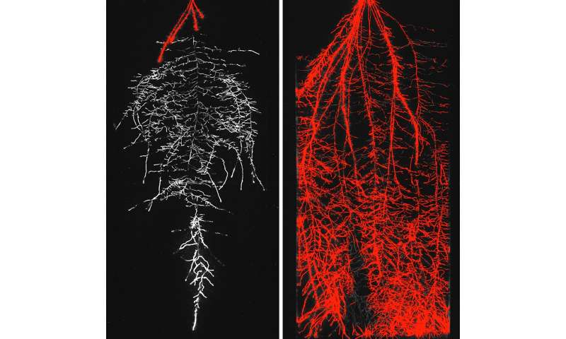 Crop roots enact austerity measures during drought to bank water