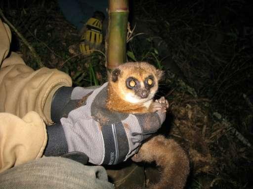 Crossley's dwarf lemur from the Tsinjoarivo forest, seen being held by a scientist near its hibernaculum in Madagascar