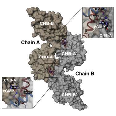 Crystal structure of PKG I suggests a new activation mechanism