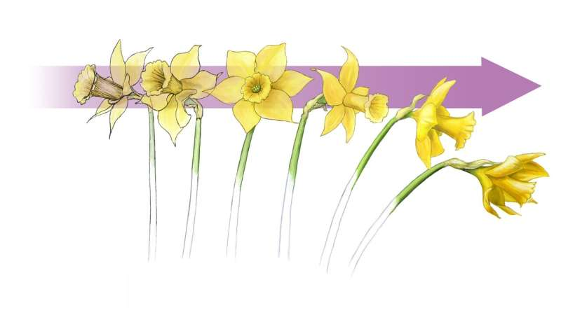 Daffodils help inspire design of stable structures