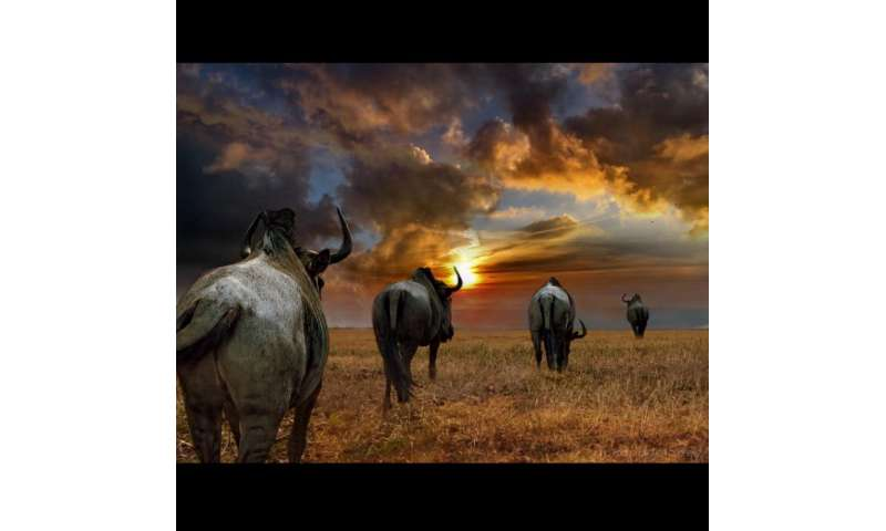Dartmouth's 'Wild-ID' tracking technology highlights vulnerability of wildebeest migration