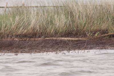Deepwater Horizon oil spill caused widespread marsh erosion, study shows