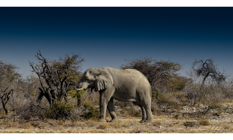 Desert elephants pass on knowledge -- not mutations -- to survive