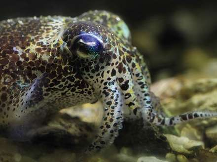 Despite multicolor camouflage, cuttlefish, squid and octopus are colorblind