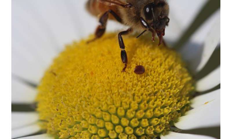 Devastating mites jump nimbly from flowers to honeybees