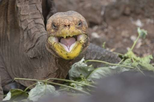 Diego, a Galapagos giant tortoise, has fathered an estimated 800 offspring, almost single-handedly rebuilding the species' popul