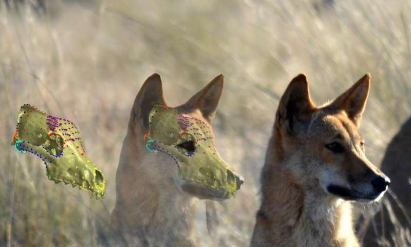 Dingo skull resistant to change from cross breeding with dogs, research shows