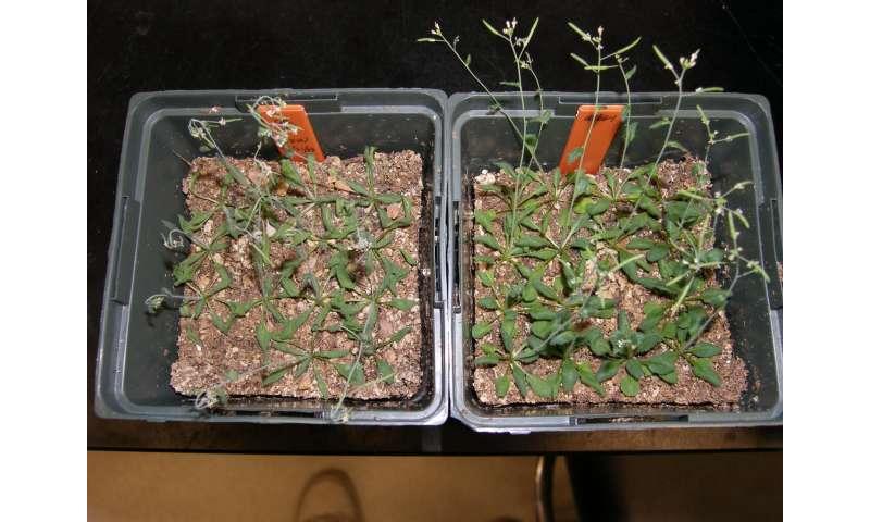 Disregarded plant molecule actually a treasure