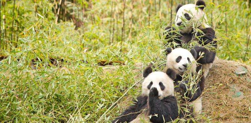 Does eating bamboo make it harder for pandas to reproduce?