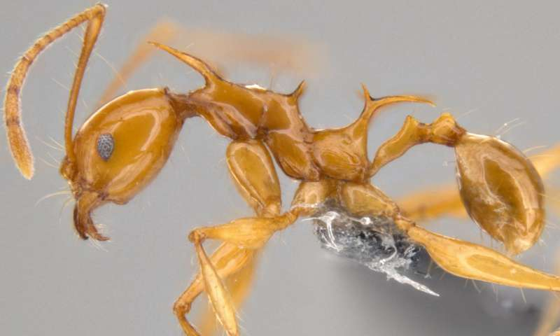 Dragon ants are coming: New 'Game of Thrones' species identified