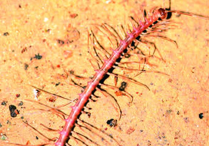 Dragons out of the dark: 6 new species of dragon millipedes discovered in Chinese caves
