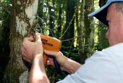 Dr Michael Kane, Environmental Horticulturist at the University of Florida, attaches an endangered ghost orchid to a host tree a