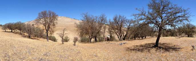 Drought strikes centuries-old California oaks