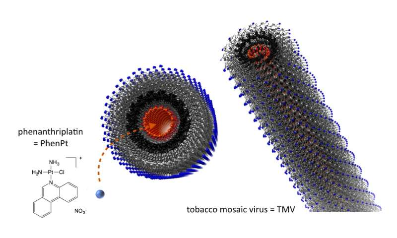 Drug candidate shrinks tumor when delivered by plant virus nanoparticle