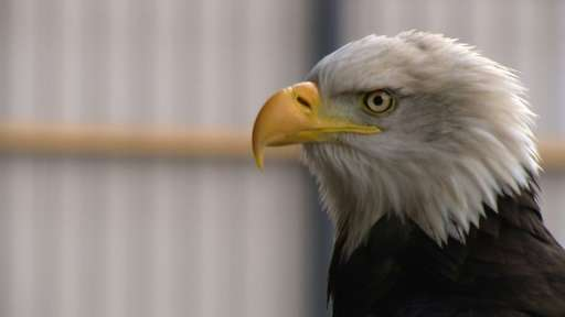 Dutch police are using eagles to deal with unauthorised drone flights in restricted areas such as airports and over crowds