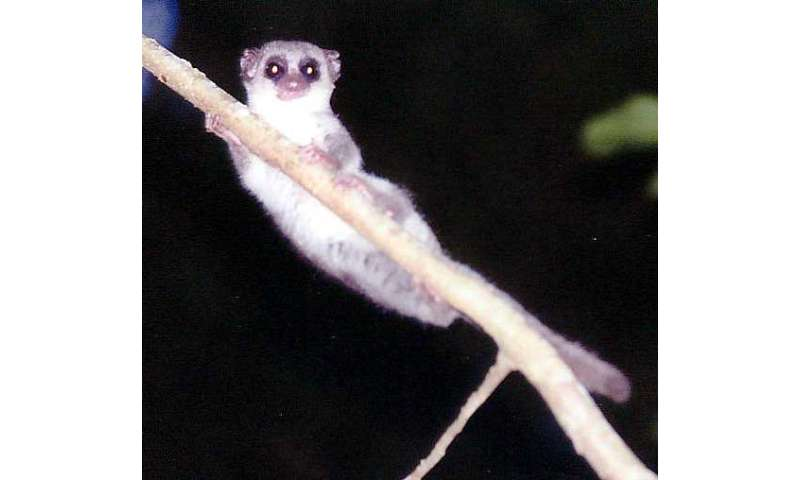 Dwarf lemur found able to sleep during hibernation