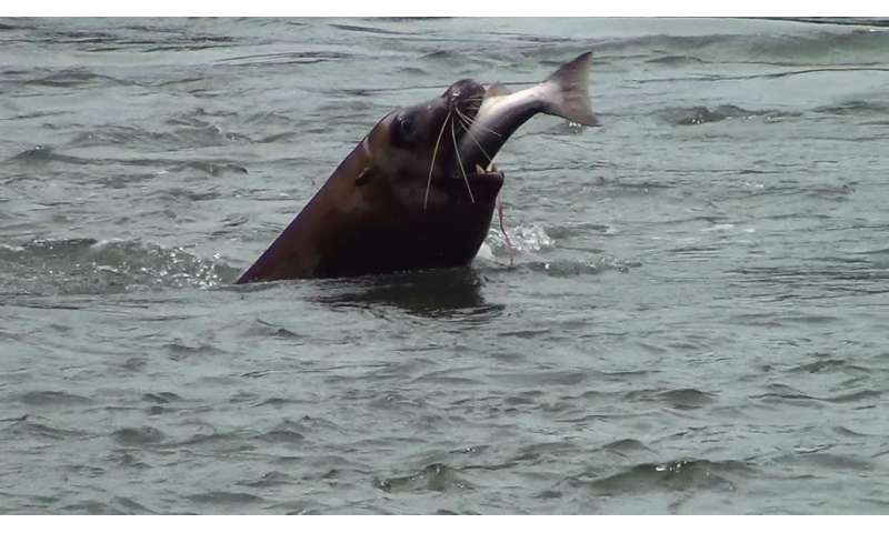 Early action key to reducing sea lion impacts on salmon, new study finds
