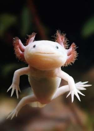 Early development reveals axolotl mysteries