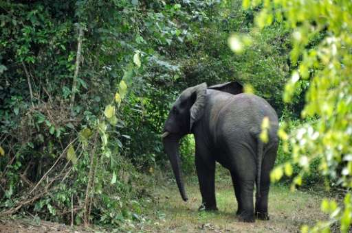Elephants live in the Mount Peko national park in the Ivory Coast's west, a 34,000 hectare (131 square mile) area threatened by