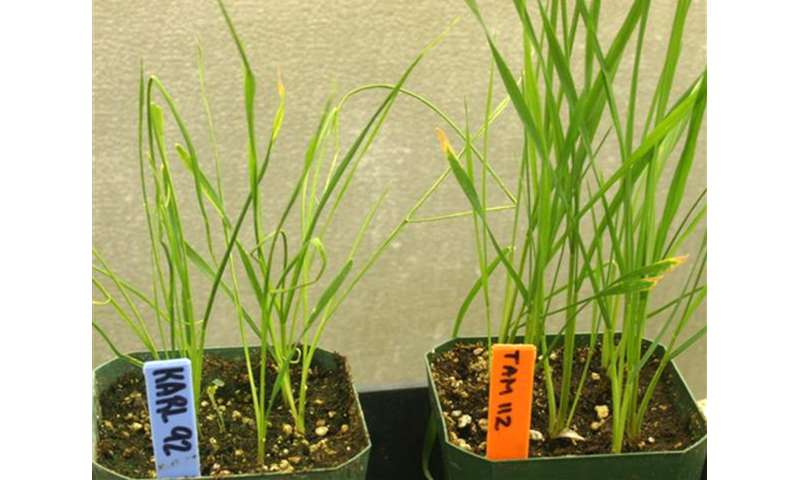 Enhanced wheat curl mite control found in genes