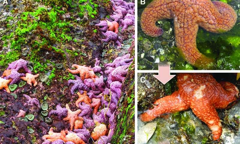 Epidemics, warming oceans rock lobster, sea star populations