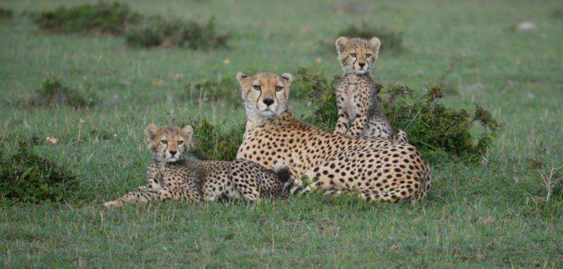 Estimates of cheetah numbers are 'guesswork', say researchers