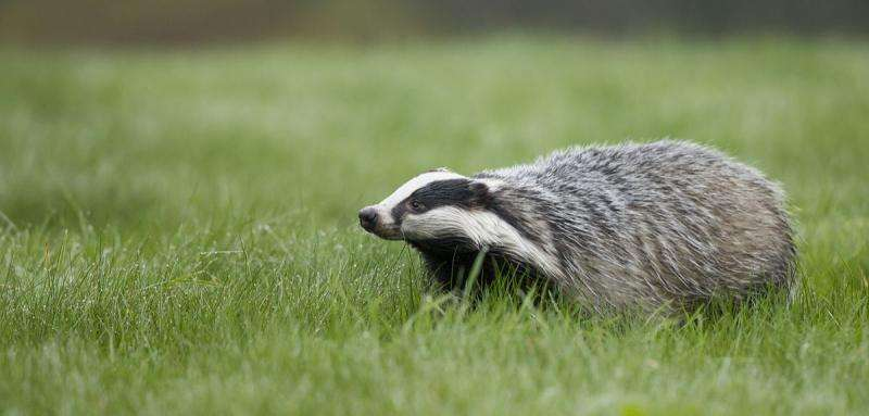 Fair-weather badgers—how appearances can be deceptive in climate change ecology