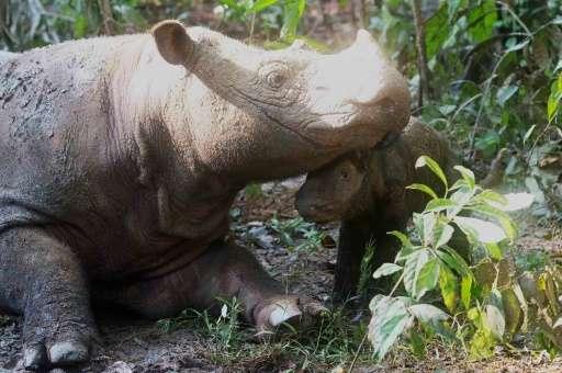 Female rhino Ratu gave birth to her calf on May 12 at a rhino sanctuary in Lampung, Indonesia