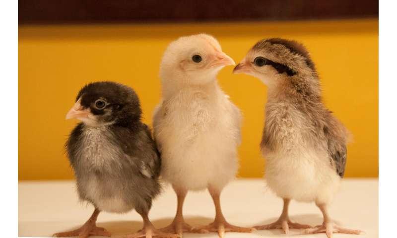 Los pollos salvajes dan luz sobre la evolución