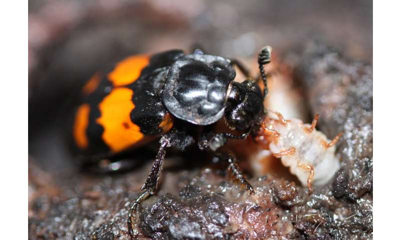 Fighting experience makes beetles better mothers, study shows