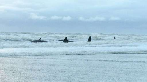Five sperm whales are stranded on the beach of Texel, The Netherlands on January 12, 2016