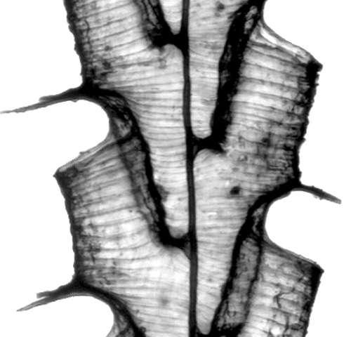 For ancient deep-sea plankton, a long decline before extinction