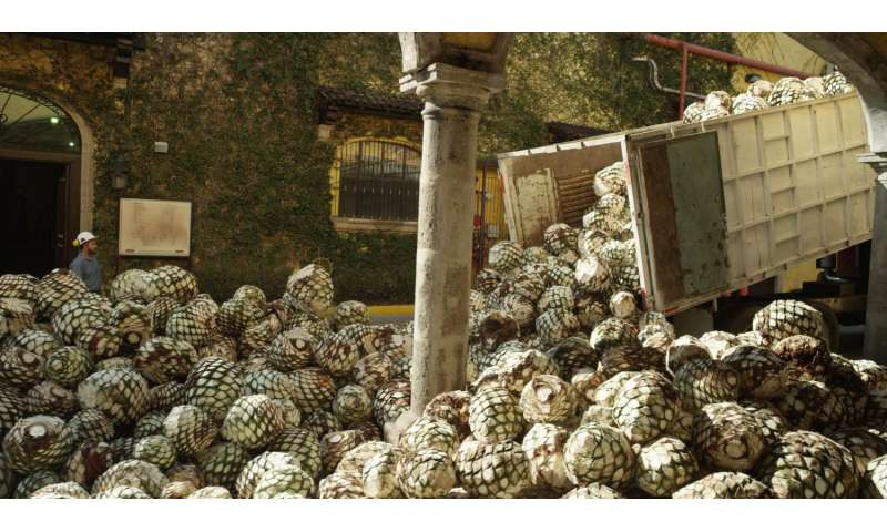 Ford, Jose Cuervo are exploring agave plant byproduct for car parts