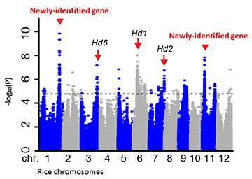Four newly-identified genes could improve rice