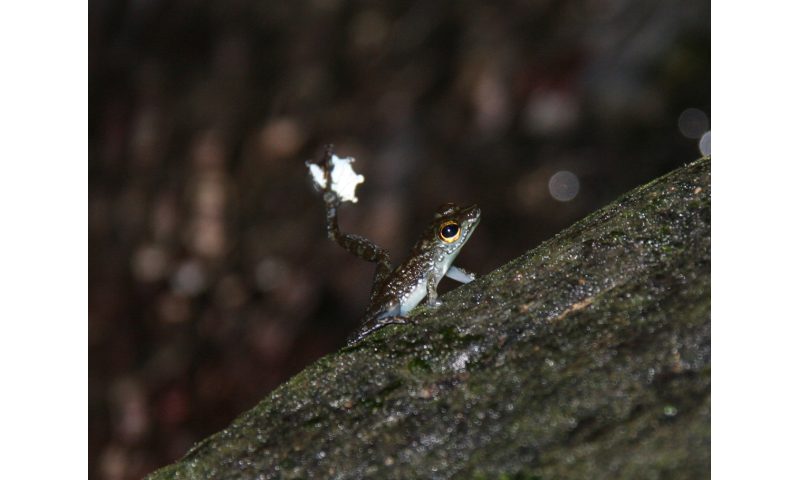 Froggie went a courtin' and waved goodbye to rival wooers