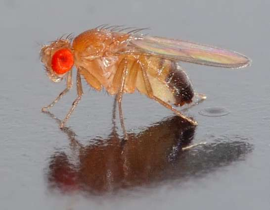 Fruit flies could be key to fighting cervical cancer caused by human papillomavirus