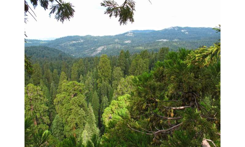 Functional traits of Giant Sequoia crown leaves respond to environmental threats
