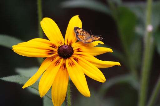 Gardeners can help protect butterfly populations