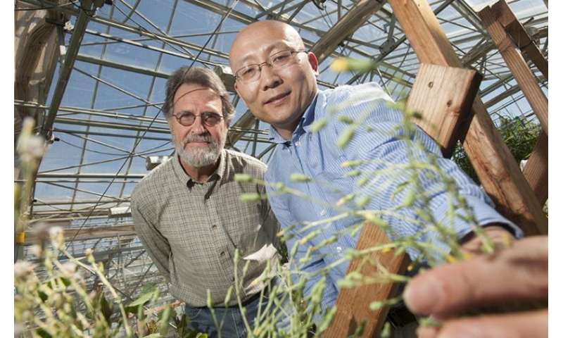 Gene blocking lettuce germination also regulates flowering time